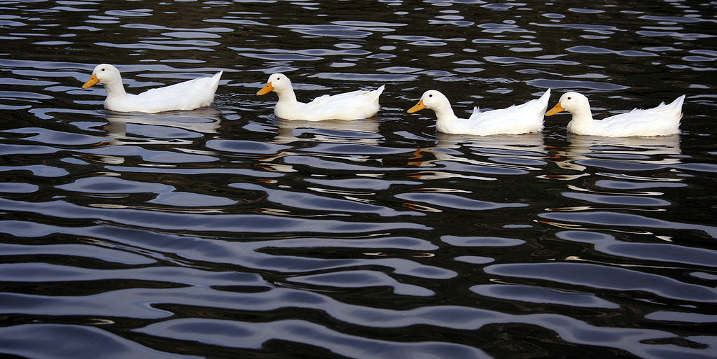 Much like these cute ducks swimming, HTTPS requires a lot going on out of sight.